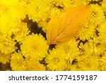 Chrysanthemum Yellow Flowers...