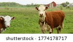 Hereford Cow Standing With...