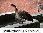 Beautiful Egyptian Goose In Th...