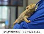 Holding A Bearded Dragon Pet...