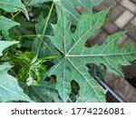 This Plant Is A Papaya Plant....