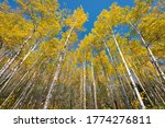 Golden aspens in the fall with bright blue sky behind white trees, travel autumn, Northern Wiscosin