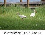 A pair of white ibises foraging
