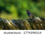Black Redstart Perched On Stone ...