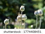 Seed Pods Of A Poppy Flower