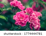 Garden Roses  Rose Bush  Pink...