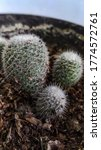 Small photo of Whitey, Twin Spined Cactus, White Cactus