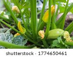 Small photo of growing blooming zuccini in the garden, cloe up