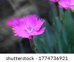 Macro Image Of Pink Dianthus...