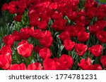Red Tulips. Bouquet Of Red...