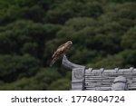 Wild Bird Black Kite On Roof ...