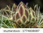 Closed Cactus Bud From...