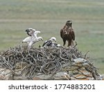 A Ferruginous Hawk With Three...