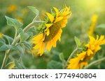 Sunflower Field Close Up....