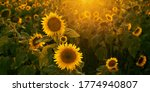 Sunflower Field At Sunset Clos...