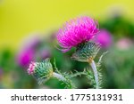 Pink Blessed Milk Thistle...