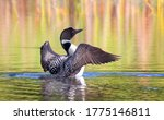 Common Loon Breaching The Water ...