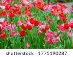 Colorful Red Tulips Grow And...
