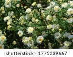 Chrysanthemum Field   White...