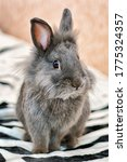 Small photo of Gray bunny fluffy rabbit baby sitting on carpet. Portrait of cute domestic tiny bunny rabbit cub at home closeup. Sweet grey little bunny animal inside in house. Cute small fur angora rabbit baby pet