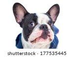 Portrait Of French Bulldog In...