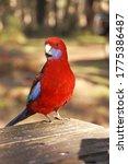 Crimson Rosella  Red Australian ...