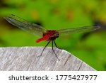 Red Dragonfly From Backside...