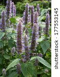 Small photo of Anise hyssop - Agastache foeniculum