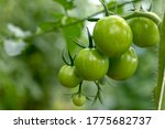 Tomato Plants In Greenhouse...
