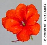 Close Up Portrait Of An Orange...