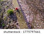 Cherry Blossom Petals And...