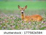 Young Roe Deer  Capreolus...