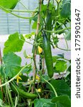 Cucumbers Grow Quickly And...