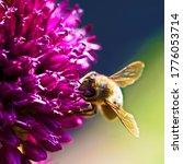 Allium Sphaerocephalon With A...