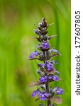 Small photo of wild herbs, Kriechender G�¼nsel, Ajuga reptans
