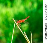 Red Dragonfly With Wings Sits...