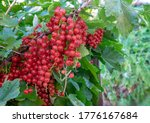 Red Currant Berries On Branch...