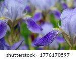 One Blue Iris Flower Macro....
