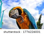 Blue And Yellow Macaw Clears...