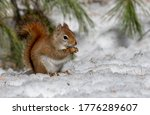 Hungry Red Squirrel Eating Bird ...