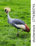 Crowned Crane In A Grassy Area.