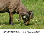 Small photo of Horned brown mother goat with baby goad kids, eating grass.