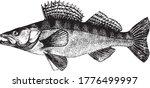 Zander  Pike Perch  Fish...