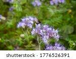 Bomblebee On Wild Flowers Lacy...