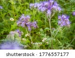 Blue Flowers Lacy Phacelia...
