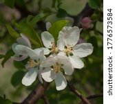 Blooming Apple Trees With Whit...