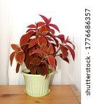 Coleus In A Pot. Orange  Red...