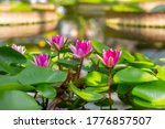 Bright Pink Water Lilies....