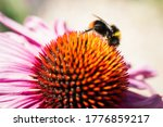Red Tailed Bumblebee   On The...