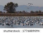 Array Of Snow Geese Overwinter...